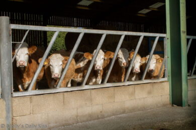 Cows all lined up in a row