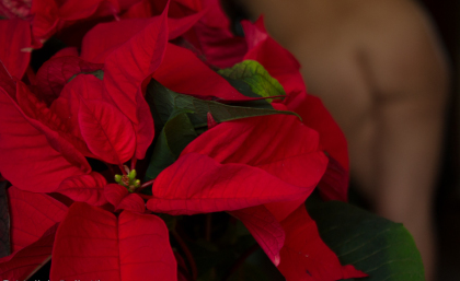 P is for Poinsettia…