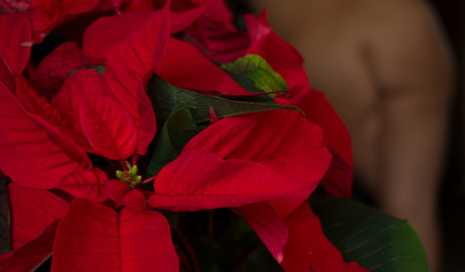 P is for Poinsettia