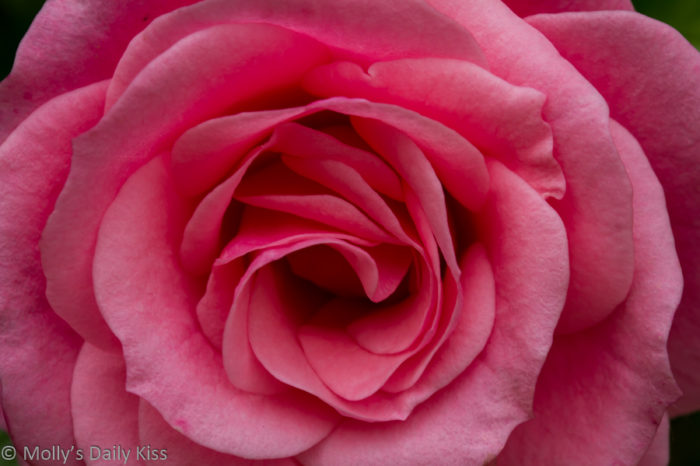 Sensuous as the petals of a rose – Guest Post