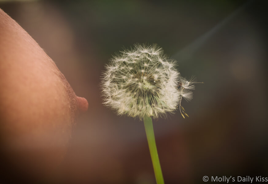 Molly's nipple with dandelion head near it and sharft of sunlight coming in and making the picture looking soft and dreamlike. For a post called Breathless gasps
