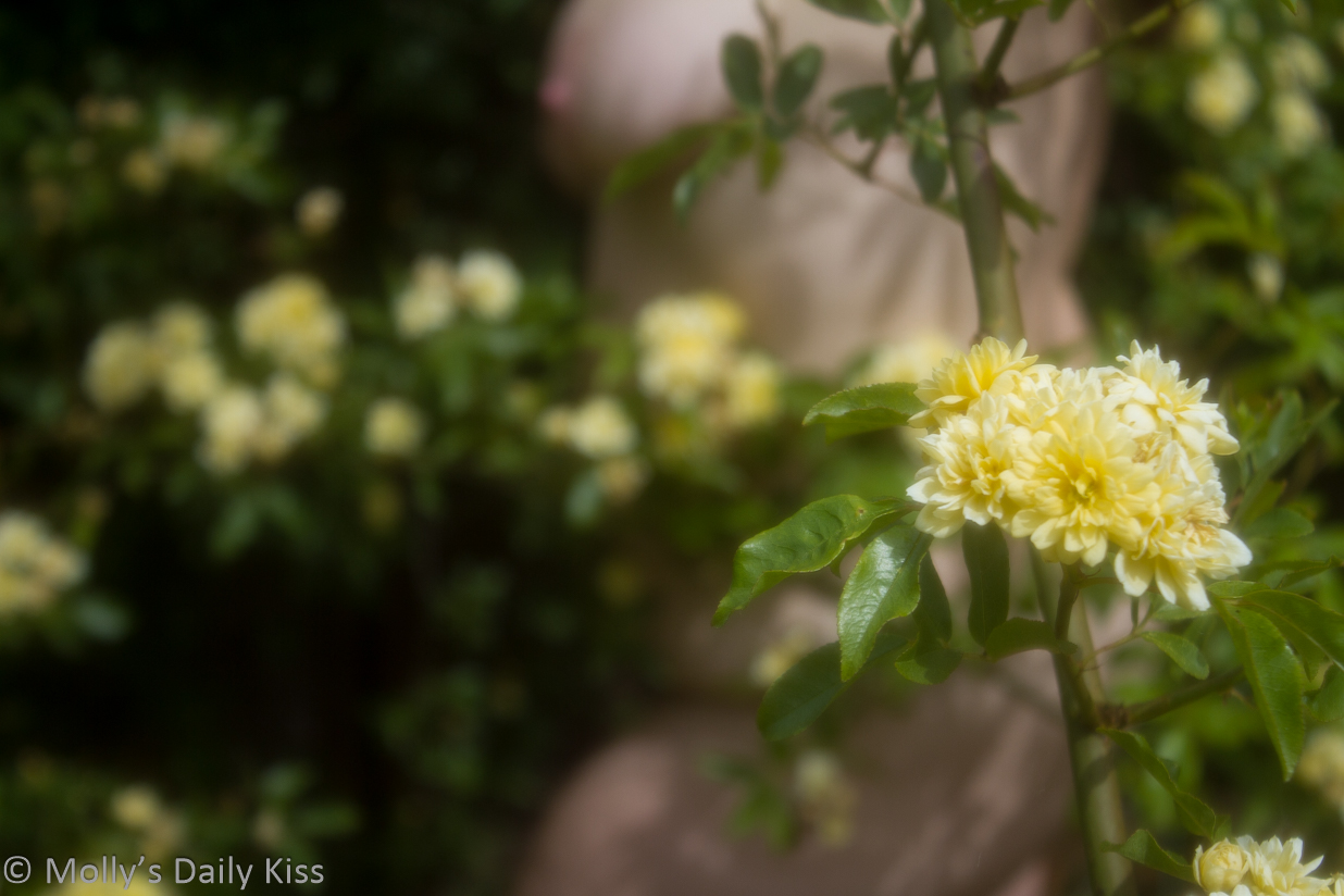 soft focus of molly naked in yellow rose bush