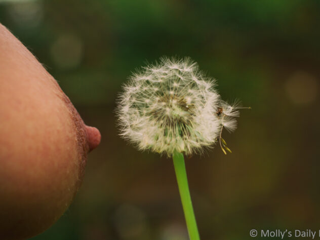 Molly's nipple near dandilion seed head for post about a wish