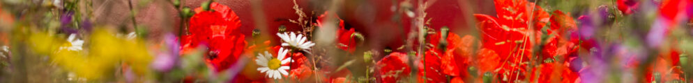 Seductiveness of life of wild flowers red poppies in front of molly's bare bottom